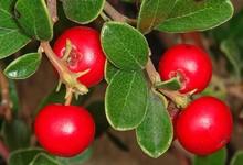 Anti-inflammatory loquat leaf extract 20% ursolic acid