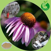 High quality chicoric acid echinacea extract
