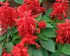 Heirloom Salvia Honeydew Peruvian Sage Meadow Clary Blaze of Fire Flower Seeds