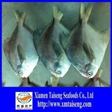 2015 High Quality Farm Raised Frozen Sliver Pomfret Fish
