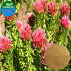 Pure Natural Rhodiola Rosea Extract / Salidroside, Rosavins
