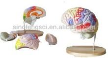 SF614 grand brain model