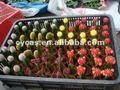 Cactuse, greffé cactuse, cactis, ballon cactus