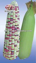 Sy-c102 híbrido semillas de maíz amarillo con blanco y el color de la semilla