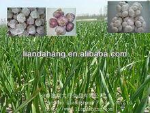 Certificated GAP/SGS Fresh White Garlic
