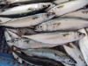 frozen pacificus mackerel