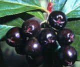Black Chokeberry Extract,10%-25%Anthocyanidin
