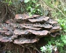 Lucid Ganoderma P.E./Ganoderma lucidum (Leyss.exFr.)Karst./CAS NO: 57-87-4