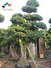 Ficus microcarpa tree plant