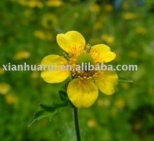 Catclaw Buttercup Root Extract / Ranunculus ternatus Thunb. P.E/ Cat's Claw P.E./ Radix Ranunculi Ternati extract/ Macfadyena un