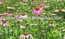 Echinacea Purpure extract 4:1