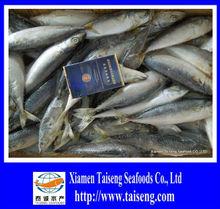 Frozen Whole Pacific Mackerel Japonica
