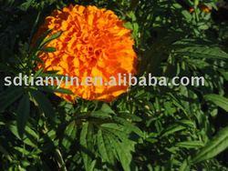 marigold (supercritical)