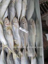 horse mackerel Atlantic