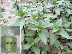 100% natural plant extract and pure Peppermint Oil with high quality and purity for best price sale