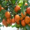 Shatang fresh mandarin orange