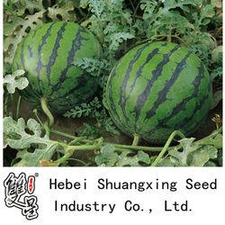 Great Triploid seedless watermelon seeds