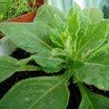 100% tabaco natural extrato da folha
