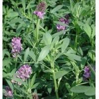 Top Quality Alfalfa Extract