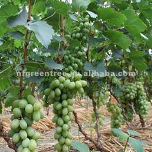 green grape Victoria
