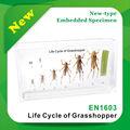 Qianfan ciclo de vida de gafanhoto novo- tipoincorporado espécime/anatômico espécimes