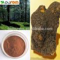 Organico fungo chaga estratto(10%- 35% polisaccaridi) obliquo inonotus