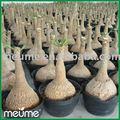 En macetas de interior del árbol de palma( nolina recurvata plantas suculentas)