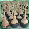 Indoor Potted palm tree (Nolina recurvata Succulent plants)