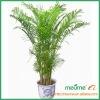 Areca palm Chrysalidocarpus lutescens--Yellow palm Tree