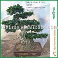 اللبخ microcarpa بونساي الأشجار في الهواء الطلق( الأشجار دائمة الخضرة)