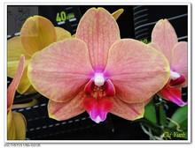 Orange Flower Phalaenopsis Taiwan Orchid Flasks Plant Nursery