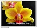 Pequeno amarelo orquídea Phalaenopsis
