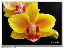 Small Yellow Phalaenopsis Orchid
