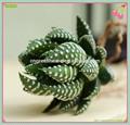 Pet mini cacto suculento bonsai( haworthia fasciata plantas)