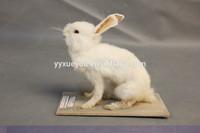 Rabbit model / specimen / science / school teaching equipment