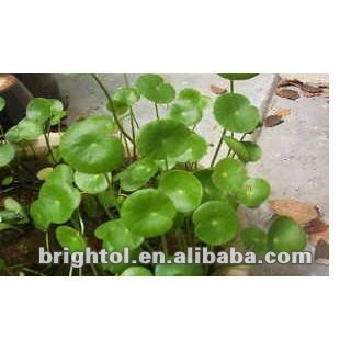 High Quality Gotu Kola Herb Extract 10~80% Triterpenes