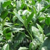 Manufacturer of Green Tea Extract