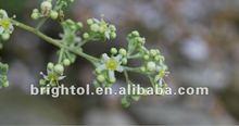 High Quality Tripterygium wilfordii