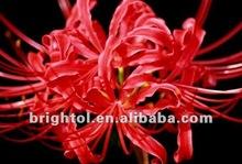 High Quality Lycoris radiata Herb