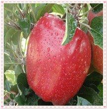 fresh sweet crispy huaniu apple