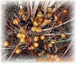 Huir Biological-Tech co.Ltd Professional/ manufacture/supply/natural/saw palmetto extract