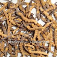 Cordyceps/Precious traditional Chinese medicine