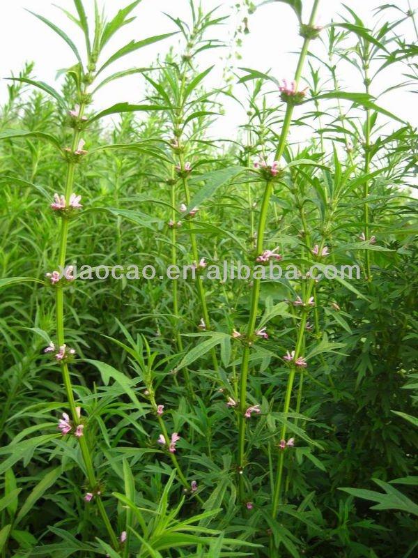 Natural Leonuri Herba Extract Powder 5:1 10:1