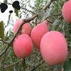 High Grade Fresh Red Fuji Apple Fruits Wholesale