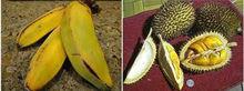 Types Banana