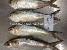 FRESH FROZEN SARDINE FISH OF ALO SEAFOOD