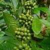 Bulk Green Coffee Bean Extract 50% Chlorogenic Acids Price
