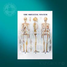 3D skeleton chart/3D medical chart