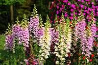 High quality herb medicine Digitalis extract Digoxin 98% CAS NO. 20830-75-5
