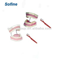 Teeth And Dental Models,Dental Model,Dental Tooth Model